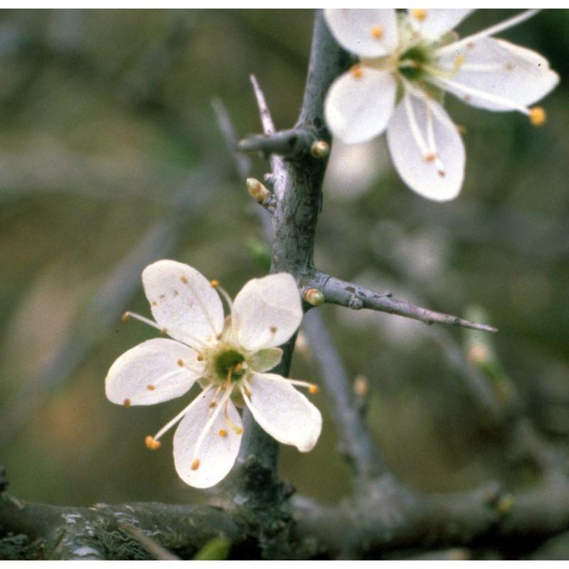 Prunus spinosa L. | Anthosart